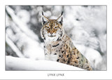 LYNX LYNX - Eurasian lynx. Collection Alpine Fauna.