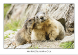 MARMOTA MARMOTA - Alpine Marmot. Collection Alpine Fauna.