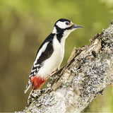 75014 - Great spotted woodpecker