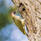 75015 - Green woodpecker