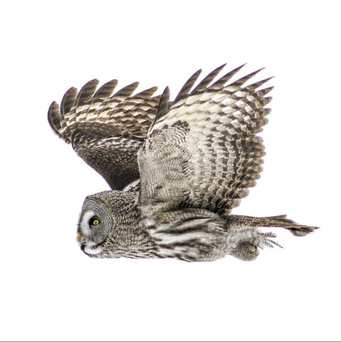75017 - Great grey owl