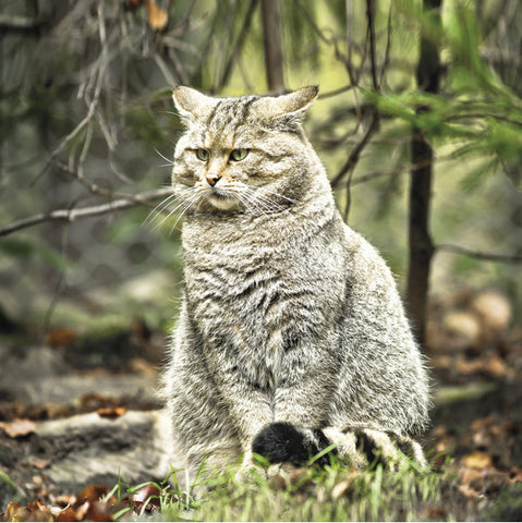 75029 - European wildcat