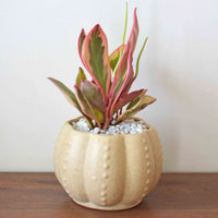 Anemone Brown Planter