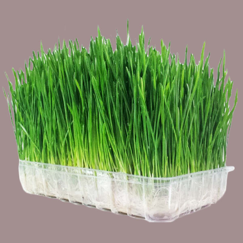 Microgreen Grow Kit (Wheat Grass)