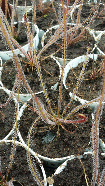 "Threadleaf Sundew ""Florida All Red""-Flytrap King"