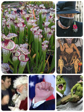 Load image into Gallery viewer, Sarracenia 'Lunchbox' - 33.3% OFF! - Black Friday Season