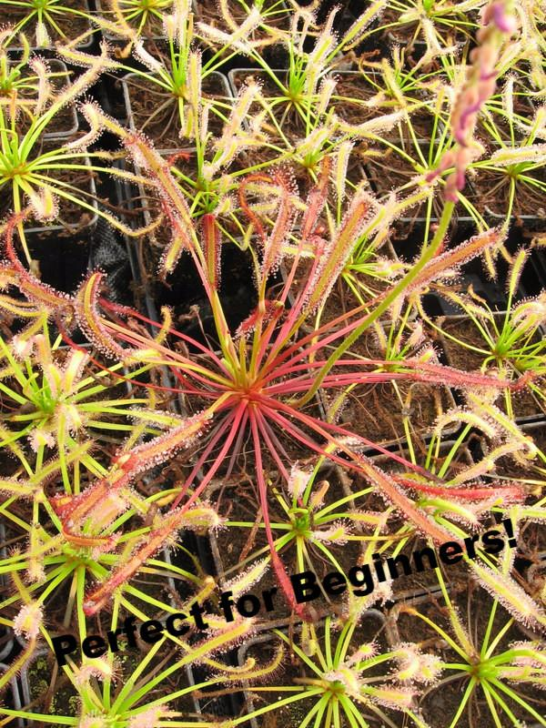 """Big Pink"" Cape Sundew-Flytrap King"