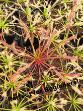 "Load image into Gallery viewer, ""Big Pink"" Cape Sundew-Flytrap King"