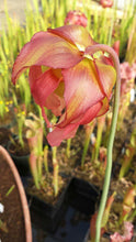 "Load image into Gallery viewer, Sarracenia ""Judith Hindle"" Pitcher Plant-Flytrap King"