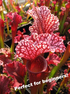 "Sarracenia ""Judith Hindle"" pitcher plant-Flytrap King"