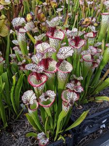 Sarracenia 'Lunchbox' Pitcher Plant-Flytrap King