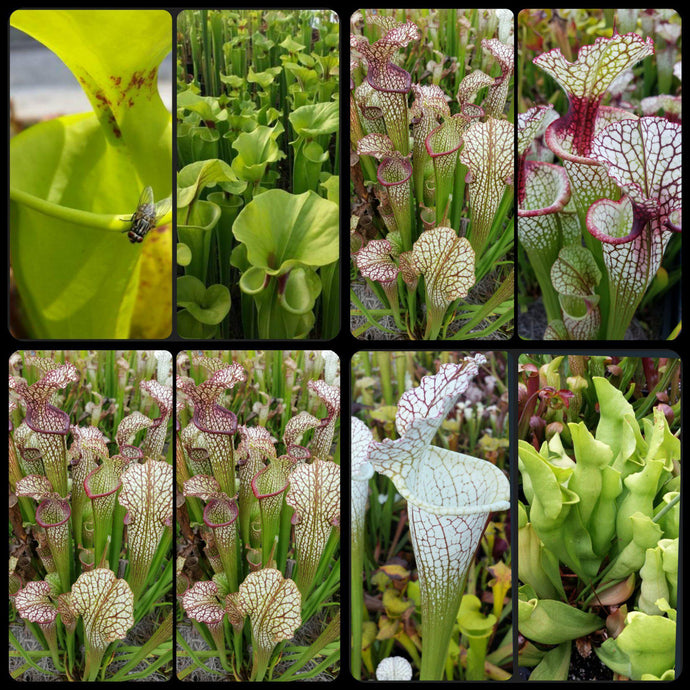 Sarracenia SUPER SALE!! Seed mix #1. ~350 seeds.-Flytrap King