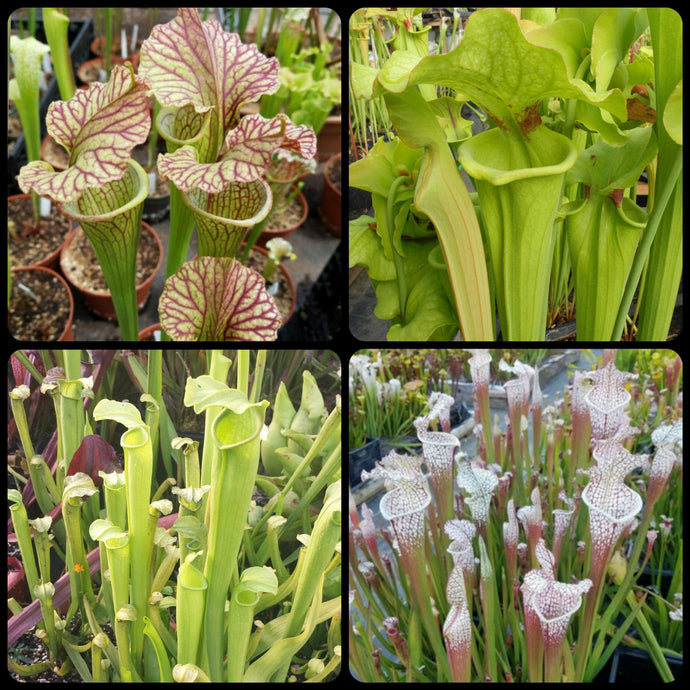Sarracenia SUPER SALE!! Seed mix #2. ~350 seeds.-Flytrap King