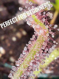 White Flowered Cape Sundew-Flytrap King