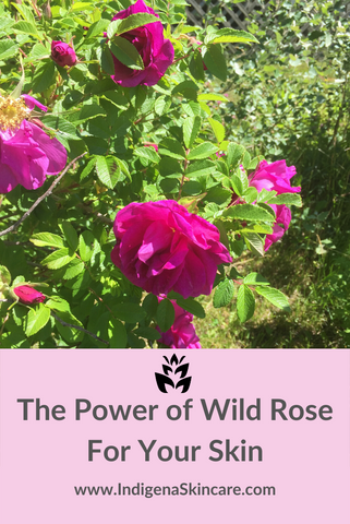 The Power of Wild Rose for your skin