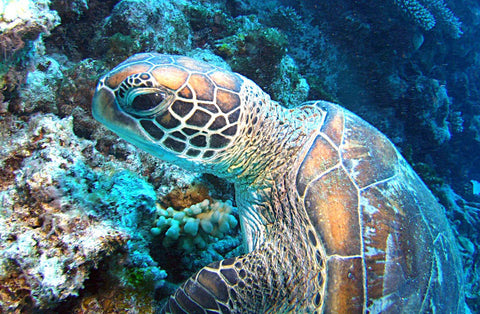 How Long Do Sea Turtles Live?