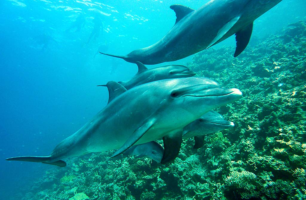 Dolphin pod along reef