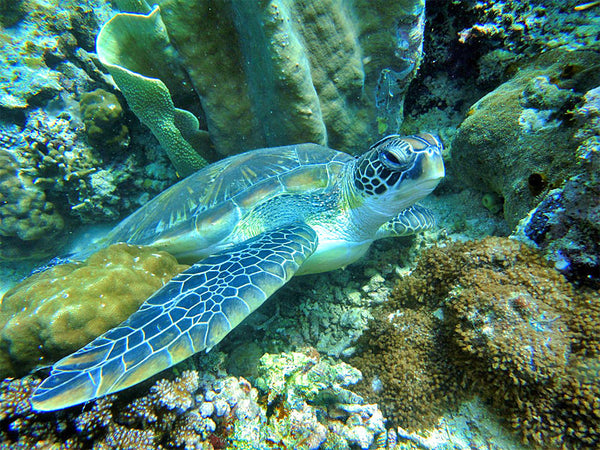 Sea Turtle Resting in Reef