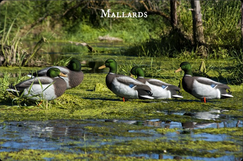 Mallard Duck Decoys - 6-pack