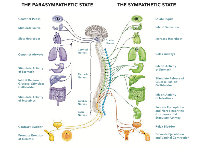 Vagal tone and the autonomic nervous system