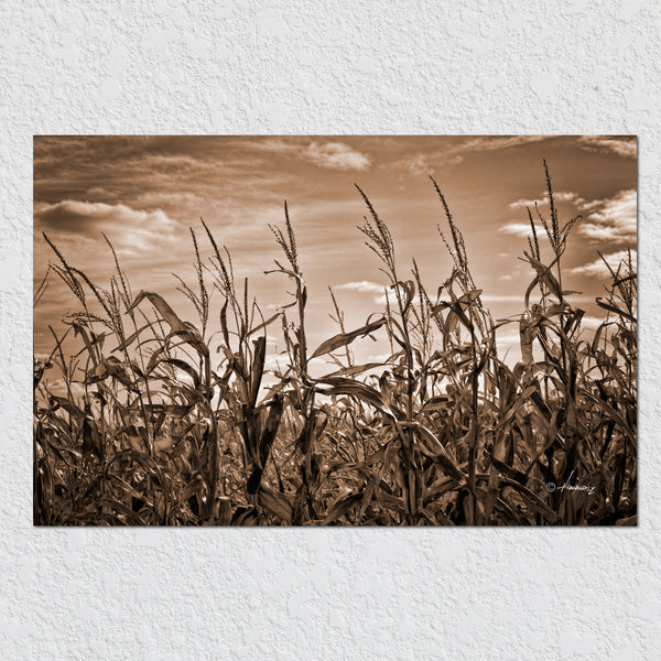 Corn Stalks by Peter Hernandez