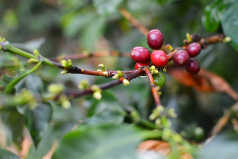 Colombia –Inzá, Cauca Coffee