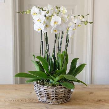 Wickham - Four White Phalenopsis Two Stem Orchids and Pot.