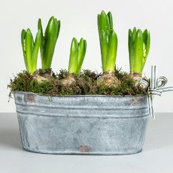 Hyacinth Bulbs in Zinc Planter.