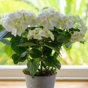 White Hydrangea in Zinc Plant Cover.