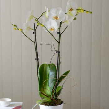 White Phalenopsis Two Stem Orchid and Pot