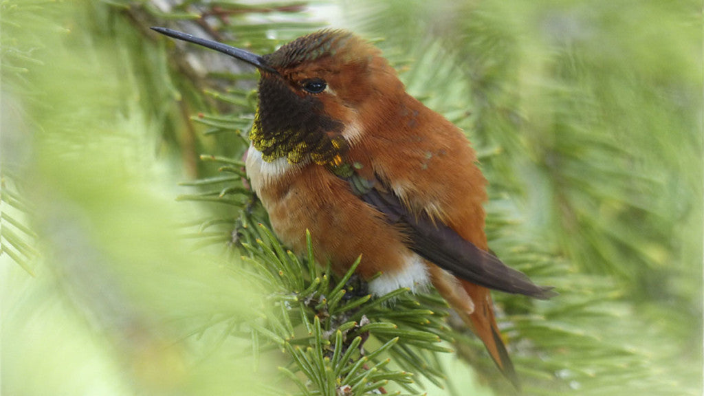 Caring for Hummingbirds