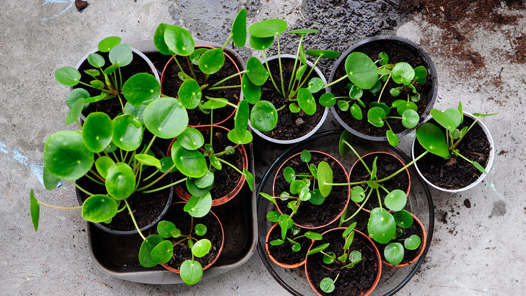 caring for the pilea peperomioides the best tips from a plant lover bulbo. Black Bedroom Furniture Sets. Home Design Ideas