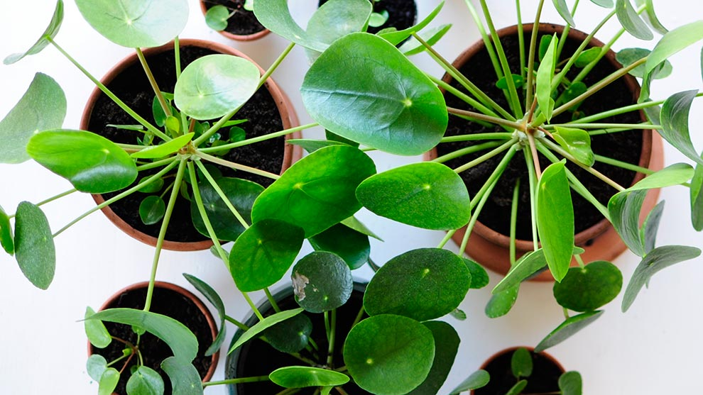Caring for the Pilea Peperomioides: the best tips from a plant lover