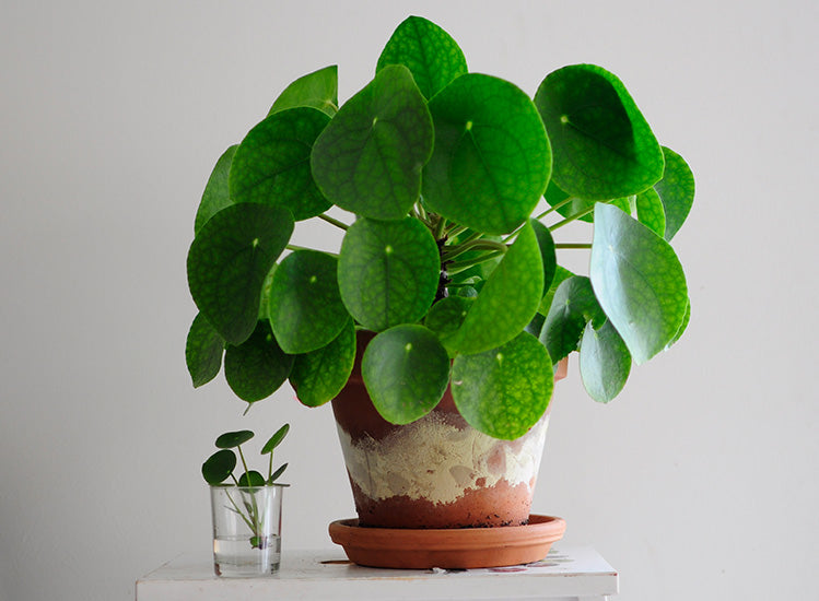 Caring for the Pilea Peperomioides: the best tips from a