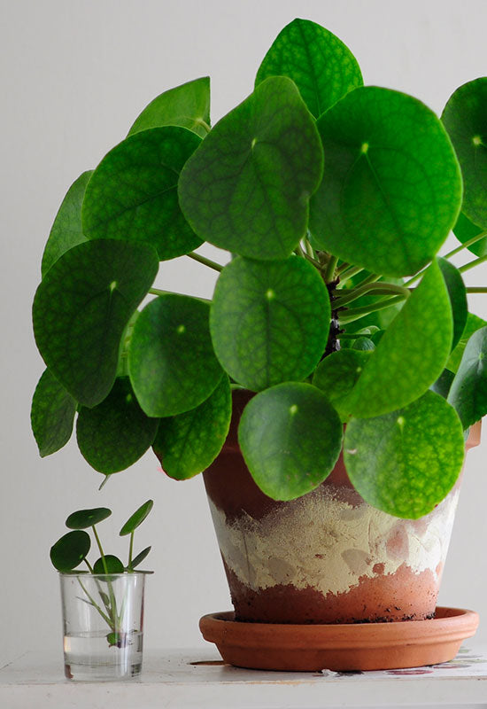 Caring for the pilea peperomioides the best tips from a for Plante pilea