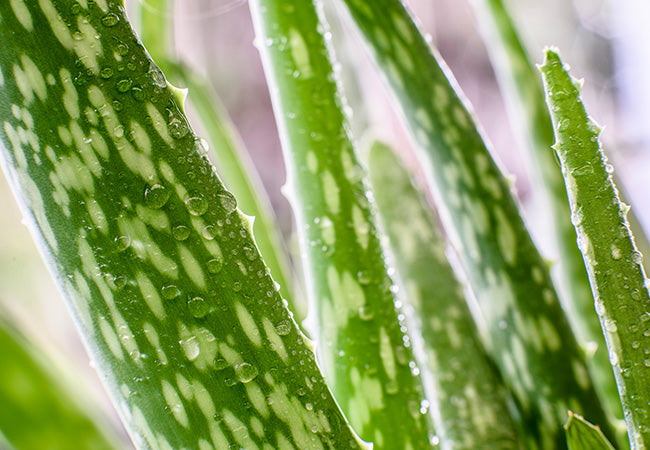How to use aloe vera to detox