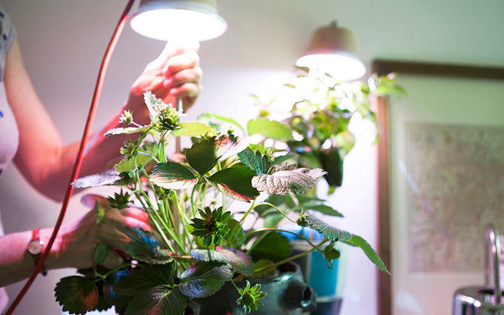 the best tips showing how to grow strawberries indoors