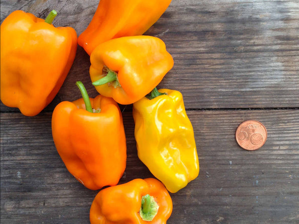 Sweet Pepper 'Petit Marseillas'