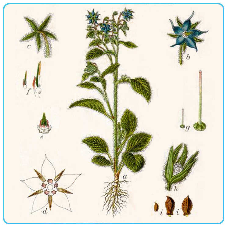 Borage, Vegetable OIls - Materia Aromatica
