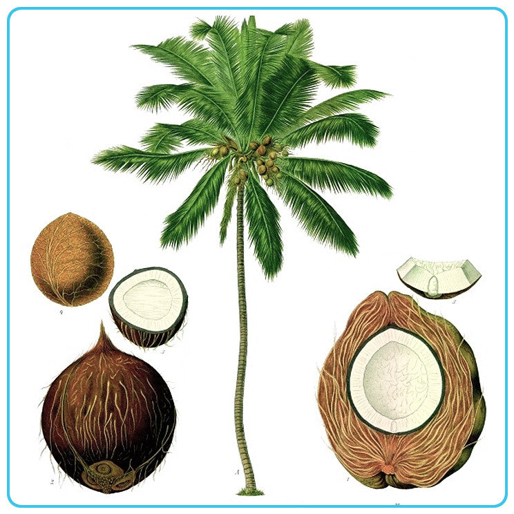 Coconut (Deodorised)