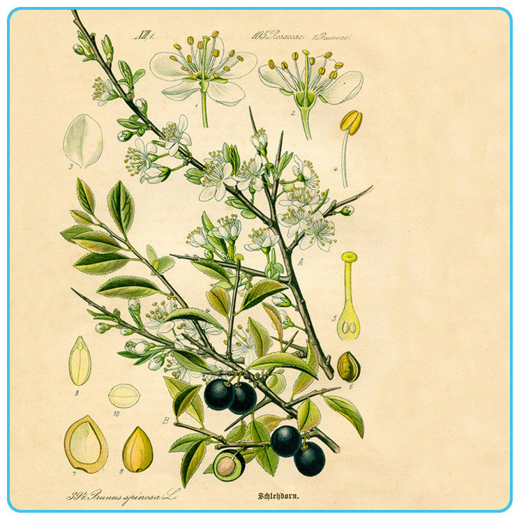 Olive, Vegetable OIls - Materia Aromatica