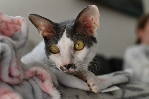 Curious Cornish Rex Look