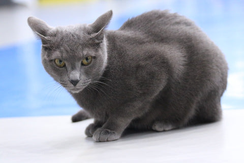 Russian Blue cat staring