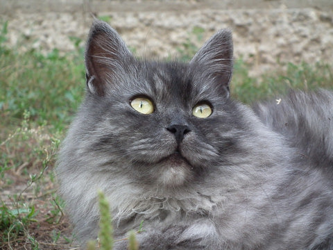 Siberian Cat Closeup