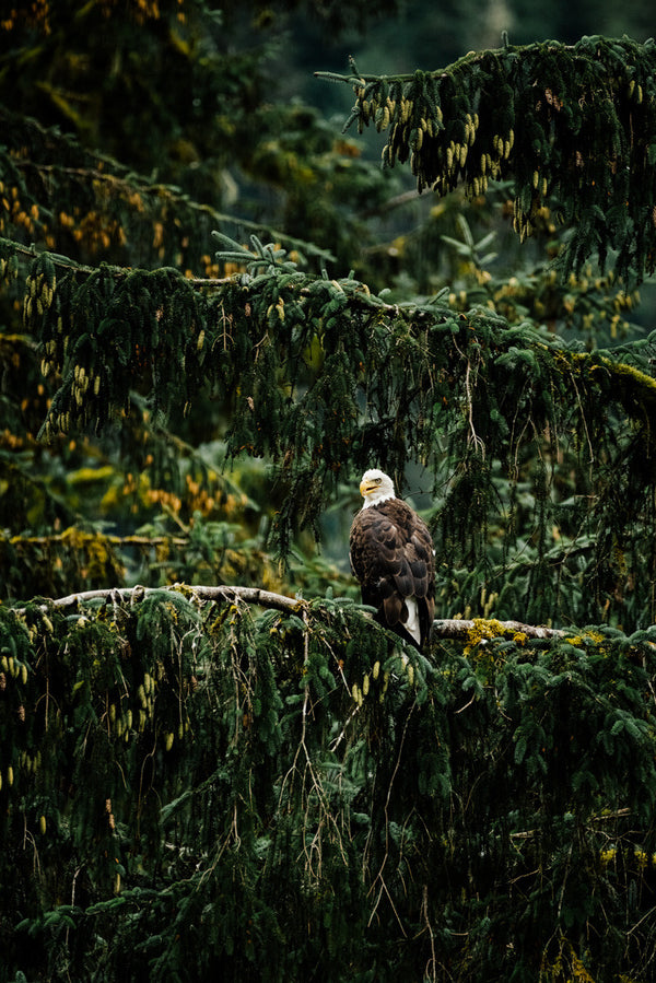 Khutzeymateen Bald Eagle, Great Bear Rainforest
