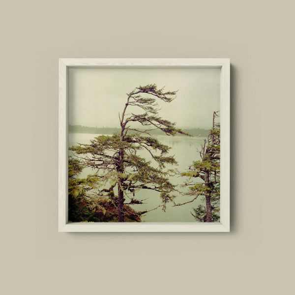 Windswept Pines, Cox Bay