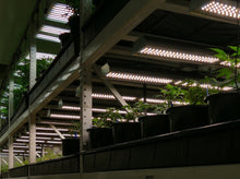 185 W FGI Lightbar 185a LED veg lamp, strong blue shifted spectrum for lush leaf formation and thick woody stems.