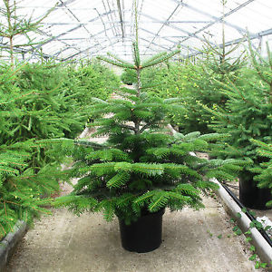 Christmas trees grown in greenhouses