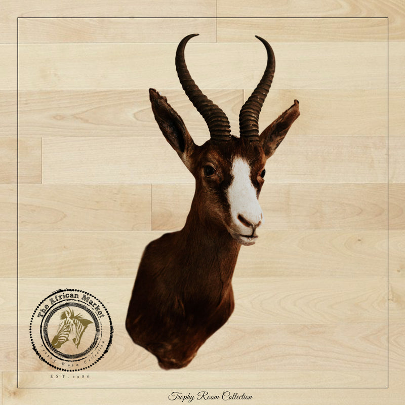 SHOULDER MOUNT - Black Springbok Trophy - Trophy Room Collection