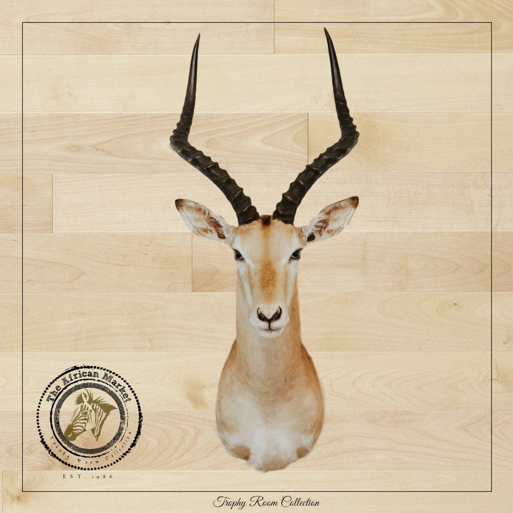 SHOULDER MOUNT - Impala Trophy 2 - Trophy Room Collection